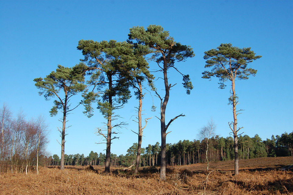 Rendlesham-Forest.jpg