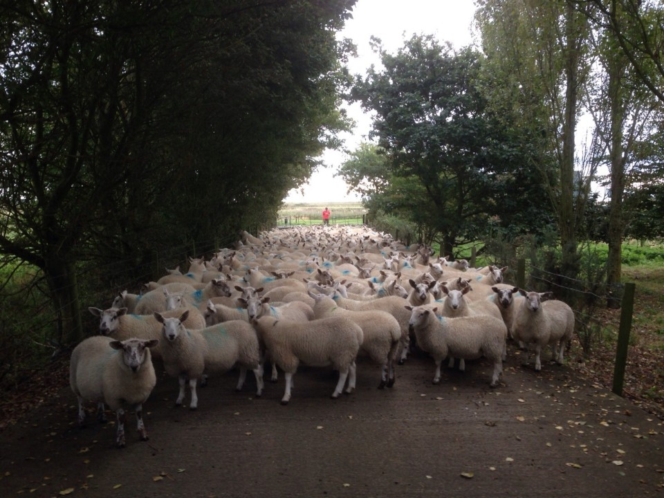 Sheep on the drive